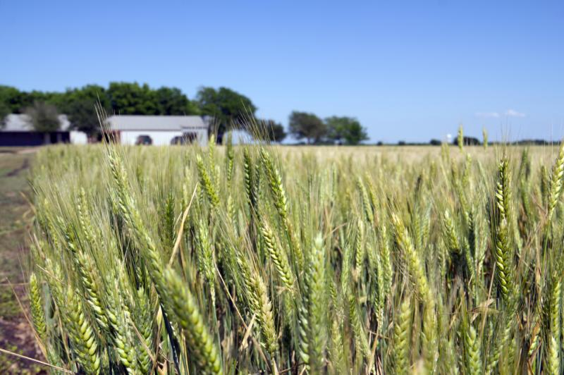 Wheat in front of Hawkins Farmhouse Ales
